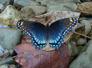 """""""Red Spotted Purple"""" by Saxophlute at English Wikipedia. Licensed under CC BY-SA 3.0 via Wikimedia Commons"""